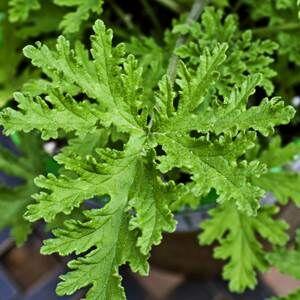 Citronella illóolaj (Cymbopogon nardus) - 10 ml