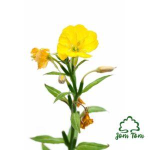 Ligetszépe olaj BIO (Oenothera biennis) - 100 ml