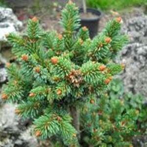 Lucfenyő olaj (Picea-abies) - 10 ml