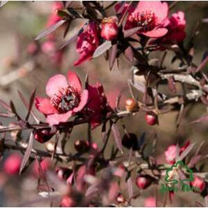 Manuka illóolaj (Leptospermum scoparium) - 5 ml