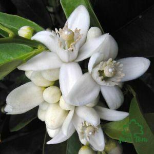 Neroli - narancsvirág illóolaj (citrus-bigaradia) - 1 ml