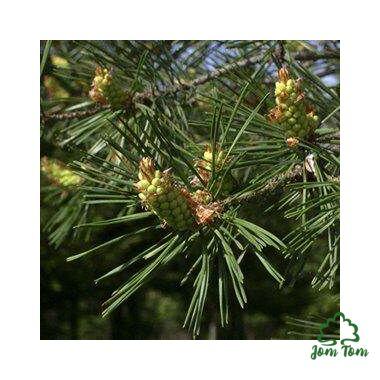 Erdeifenyő illóolaj (Pinus silvestris) - 10 ml