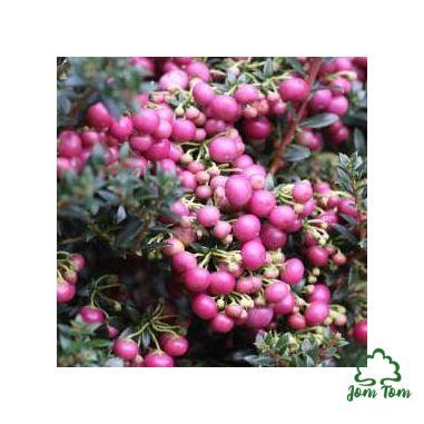 Wintergreen illóolaj (Gaultheria procumbens) - 10 g