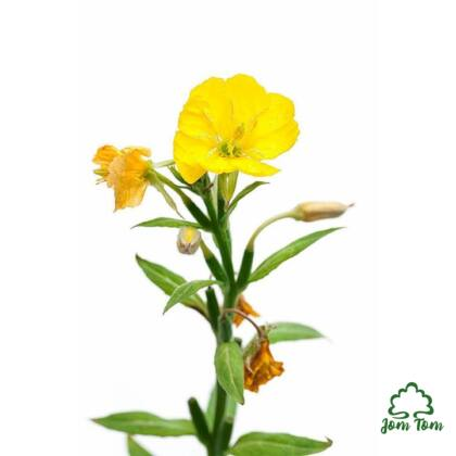 Ligetszépe olaj BIO (Oenothera biennis)
