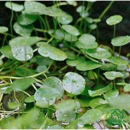 Gotu Kola por (Hydrocotylis asiatica) - 100 gr