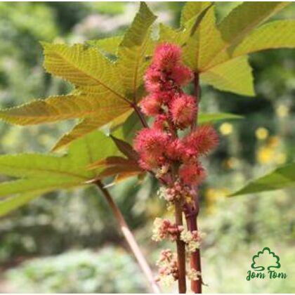 Ricinus olaj (Ricinus communis) Ph.Eur - 100 ml