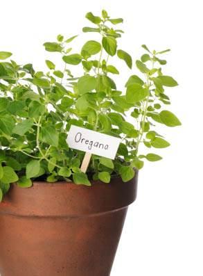 oregánó illóolaj - gomba, baktérium és virusölő, természetes antibiotikum